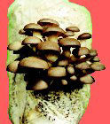 Easy Grow Kit - Oyster Mushroom Log