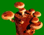 Easy Grow Shiitake Mushroom Growing Kit